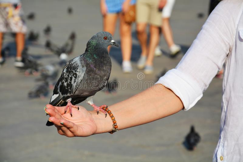 Dove on hand in St. Mark's Square, Venice stock photos
