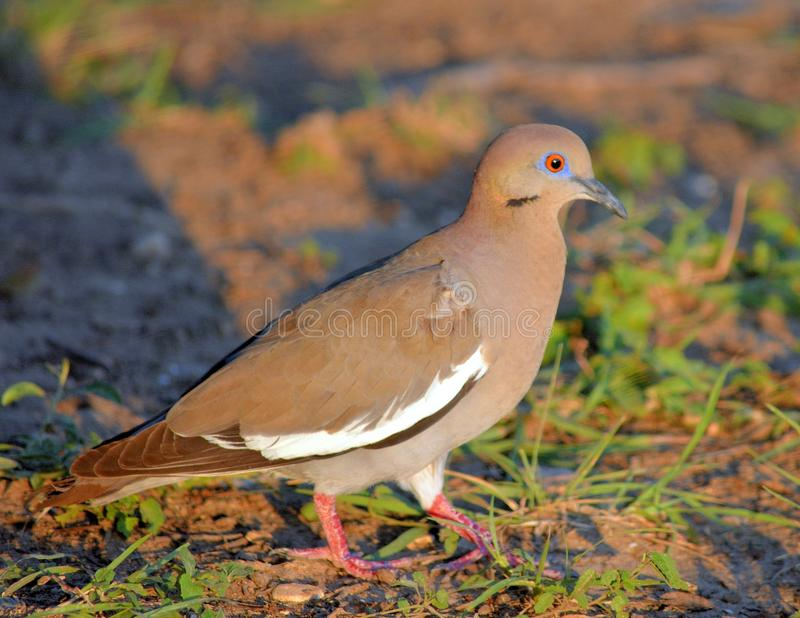 dove in light stock image image of wildlife nature 79948957