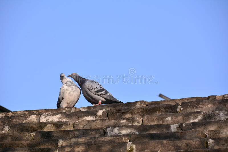 Dove love royalty free stock photo