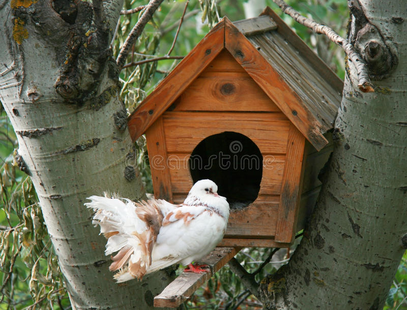 Download Dove stock photo. Image of dove, feathers, bird, breed - 32437050