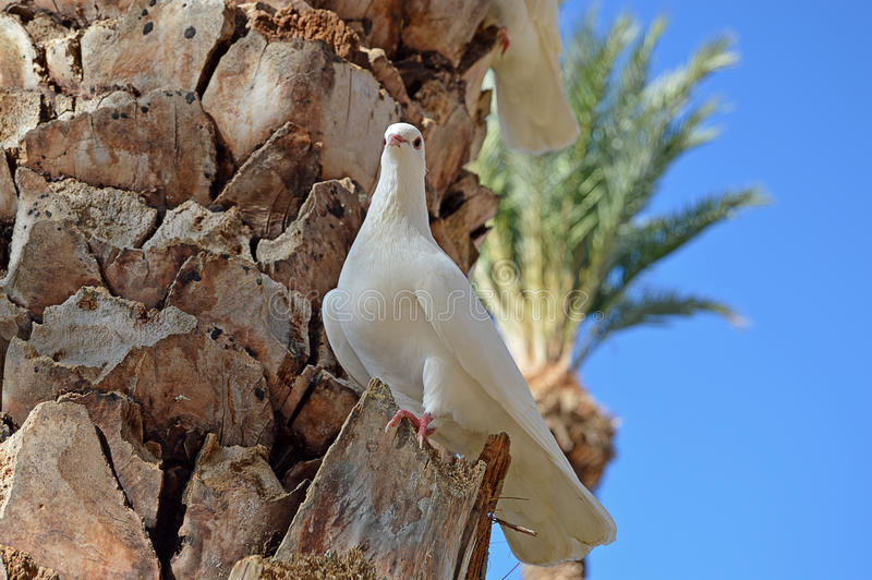 A Dove In A Palm Tree. A dove surveys the area from high up in a palm tree royalty free stock photo