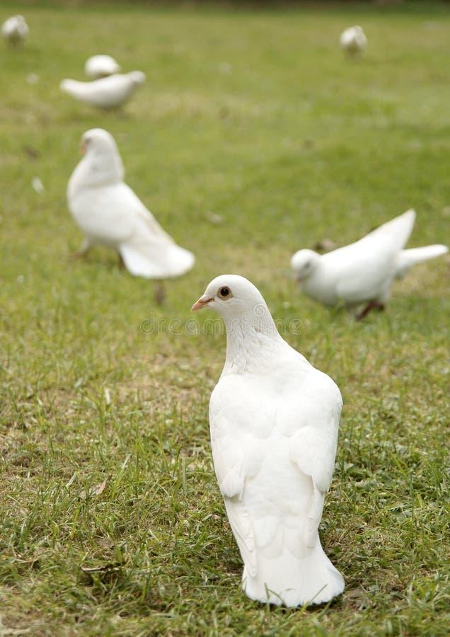 Dove In The Park 2 Stock Photo