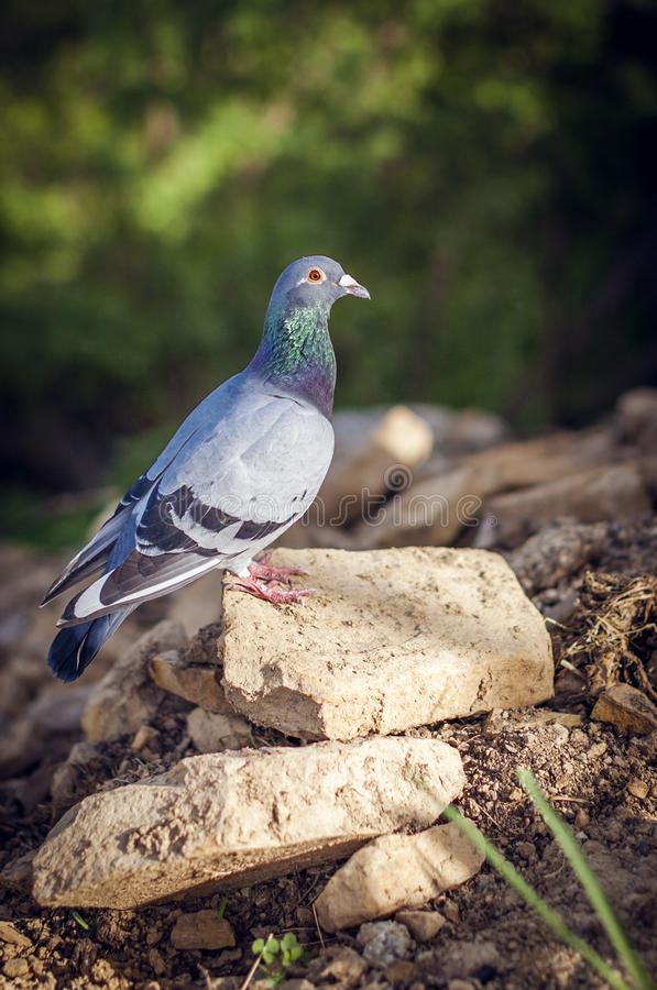 Download Dove on a Piece of Rock stock photo. Image of detail - 30997418
