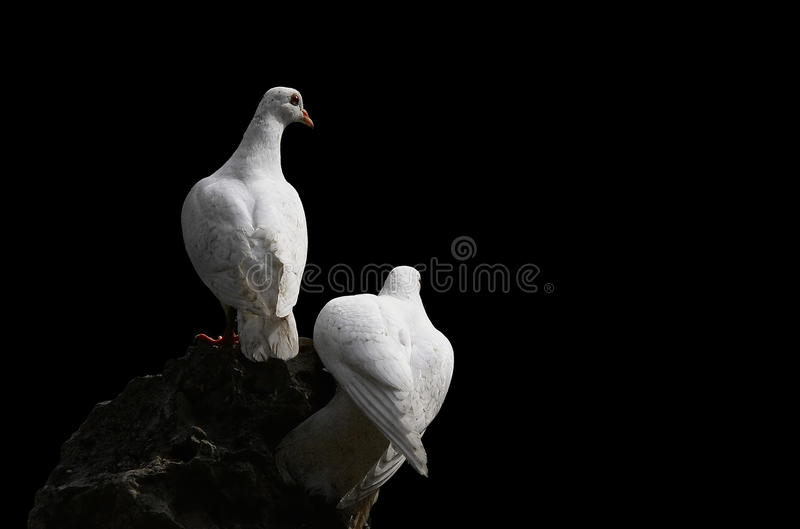 Dove and pigeon isolated on black background royalty free stock images
