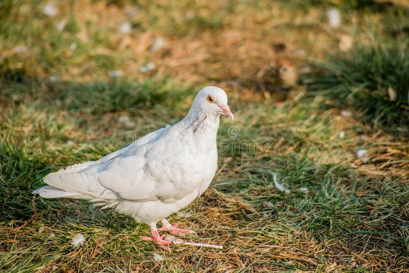 The dove royalty free stock photos