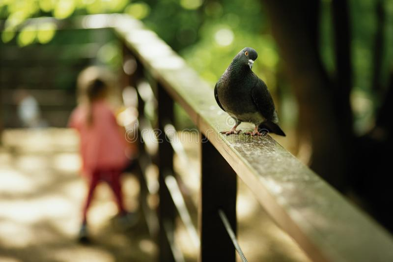 Dove on the railing stock image