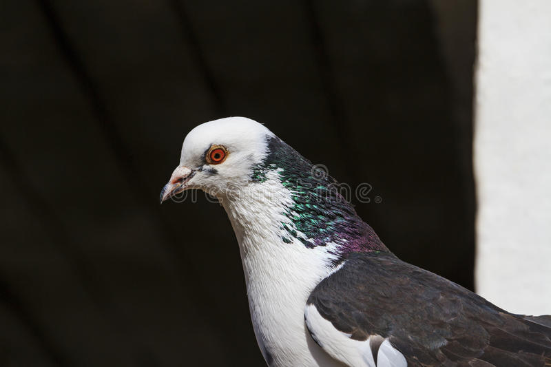 Dove with a rainbow on the neck royalty free stock image