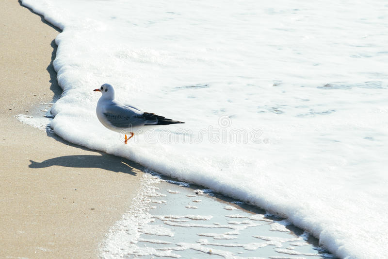 Seagull on sand beach and ocean wave in Busan, Korea. Nature scenery royalty free stock photos