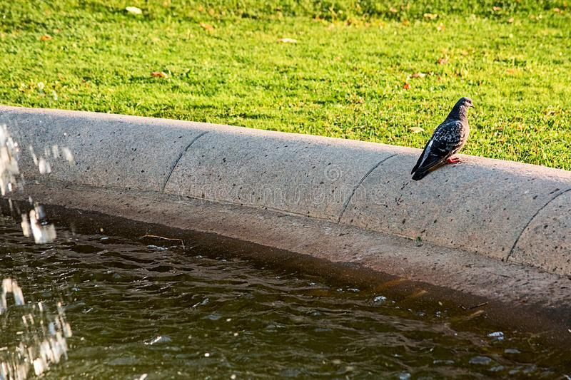 The dove sits on the fountain stock images