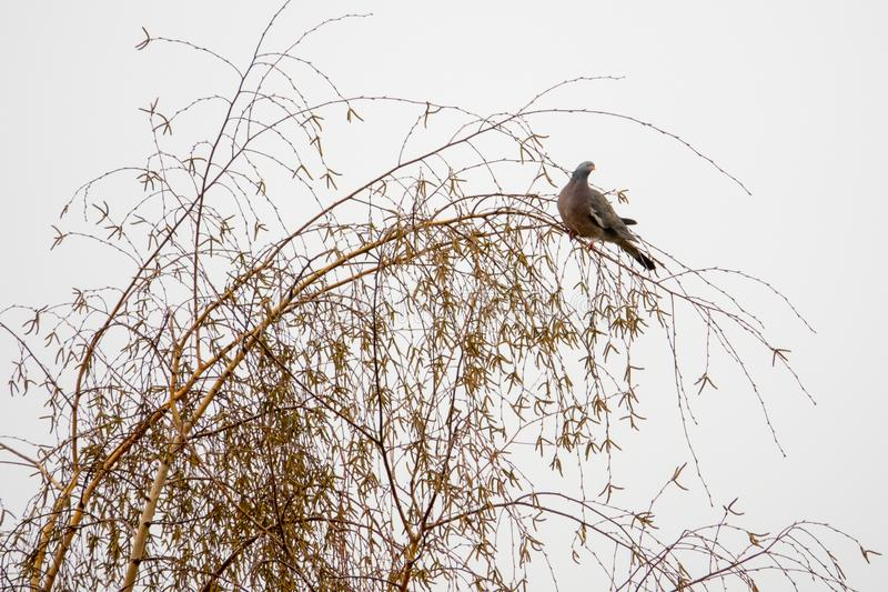 A dove sits on a tree royalty free stock photo