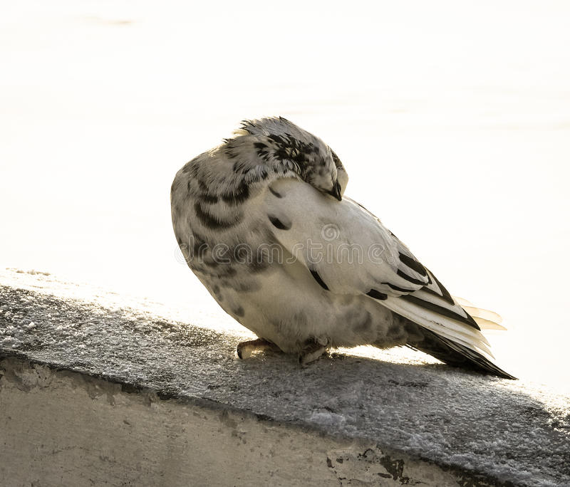 Dove is sitting on the bridge with his head bowed. The dove is sitting on the bridge with his head bowed stock photo