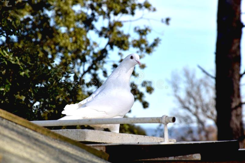 Dove Sitting on a Perch royalty free stock photos