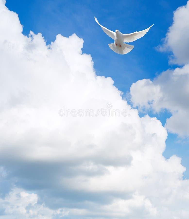 Dove in the sky. White dove flying in the sky
