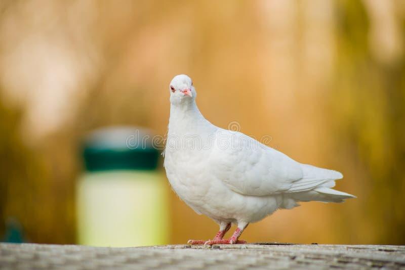 Dove stock photography