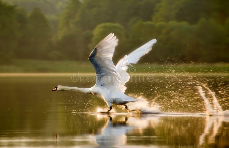 Dove-starting. The swan starting in sunset light on lake in Mazuras, Poland stock image