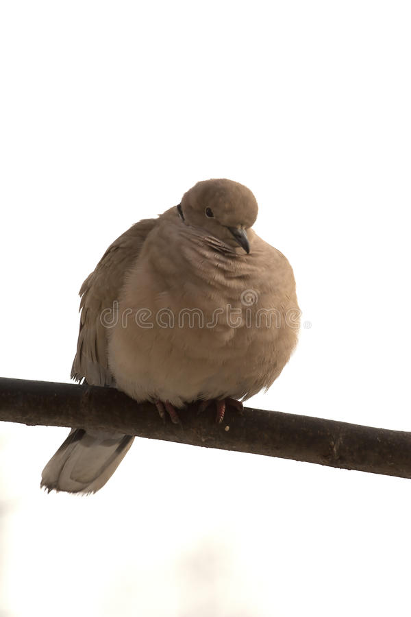 Download Dove on a stick stock image. Image of animal, pigeon - 28903465