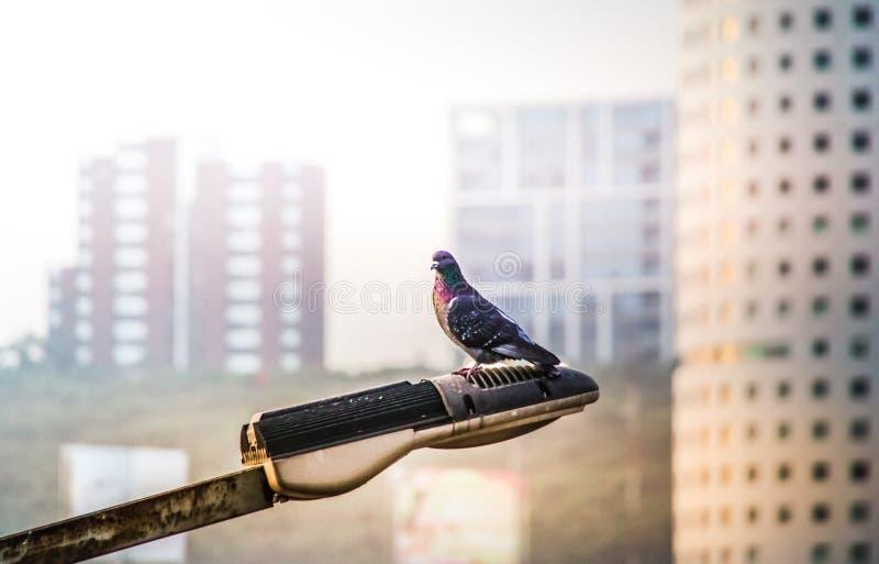 Dove on a street lamp. Photograph of an urban dove on a street lamp