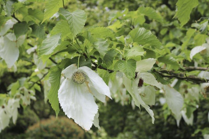 Dove tree. Nice spring dove tree in the garden. Dove tree stock image