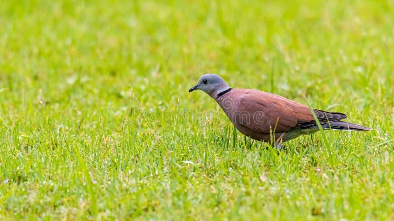Dove Vermelha Colada de pé sobre grama verde fresca imagens de stock royalty free