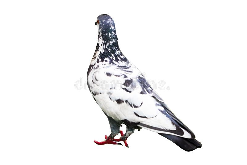 Dove on white background , technical cost-up.Clippingpath stock image