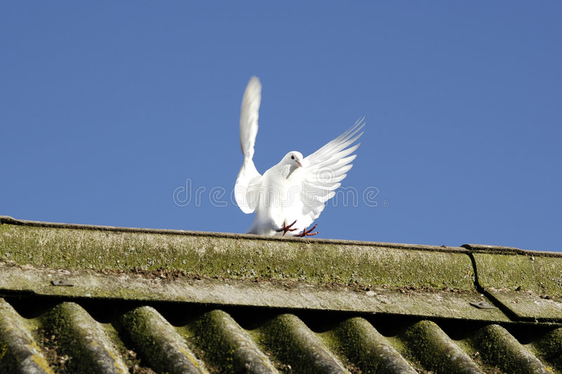 Dove wings. Single white dove with spread wings stock photo