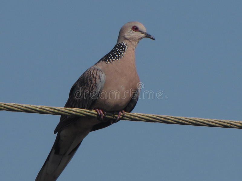The dove on the wire in the beach area of Goa benaulim royalty free stock images