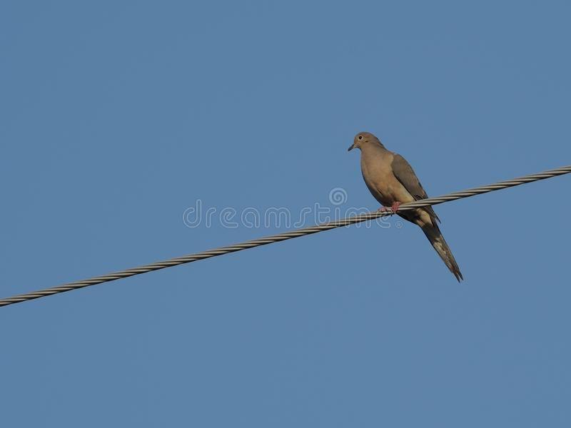 Dove on a wire. Single dove perched on a telephone wire stock images