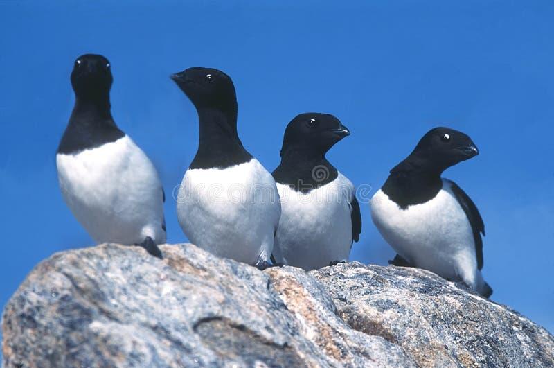 Download Dovekies stock image. Image of birds, alle, svalbard, awks - 19993