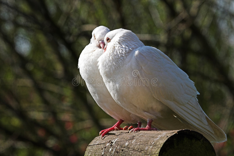 Doves. A pair of white doves, apparently kissing stock images