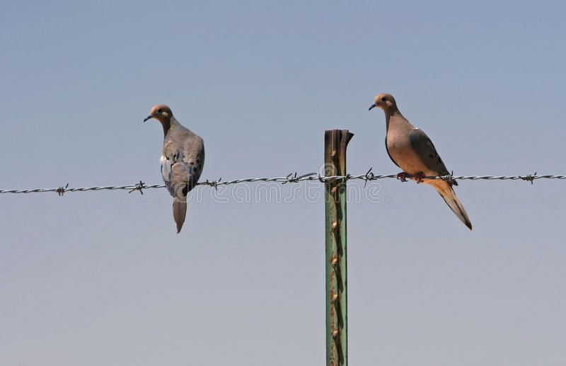 Doves on barbed wire royalty free stock image