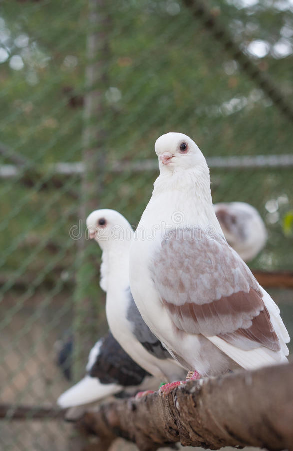 Download Doves Royalty Free Stock Photo - Image: 34987995