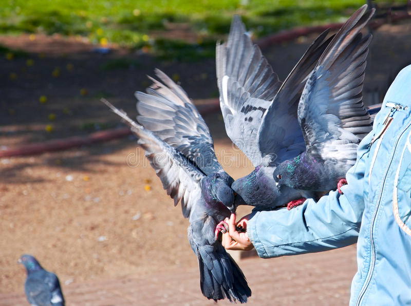 Doves eating from hand stock photo