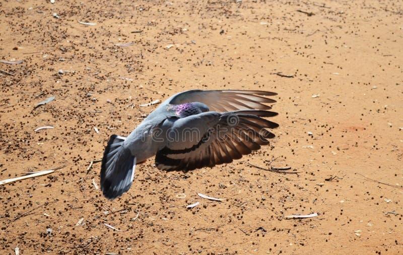 Doves in flight stock photos