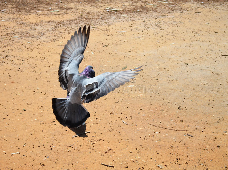 Doves in flight stock photography