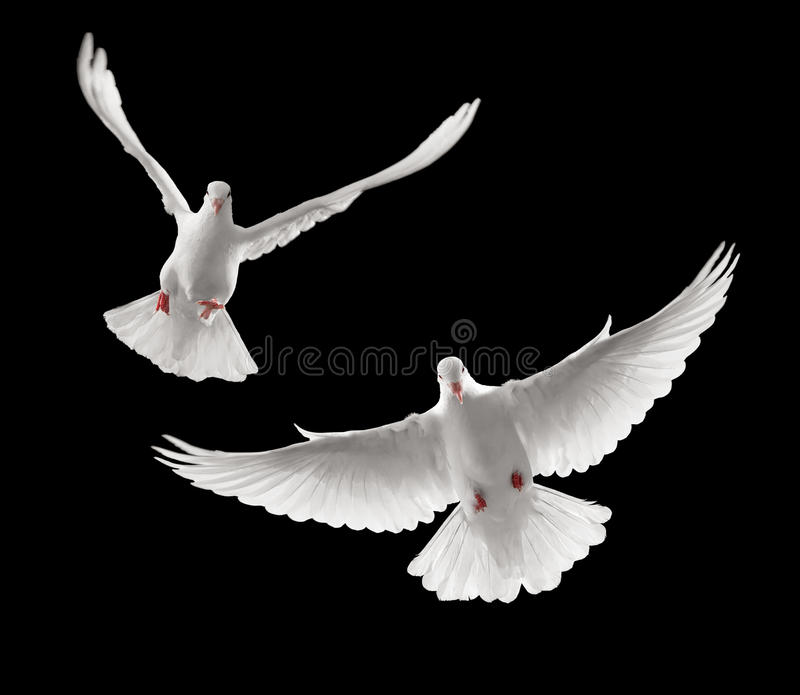 Download Doves flying stock photo. Image of free, dove, front - 10690468