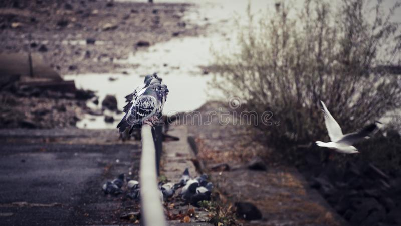 Doves and flying seagull on a railing in the riverbed of the river Rhine in Bonn royalty free stock photo