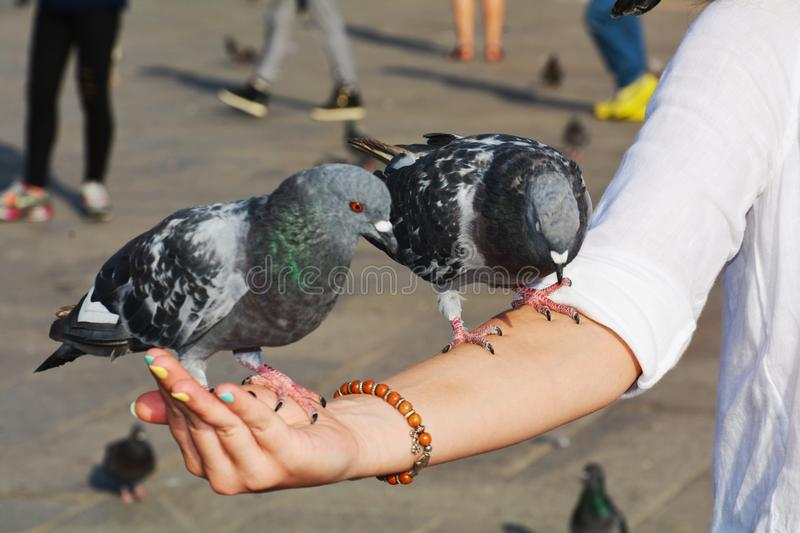 Doves on hand in St. Mark's Square, Venice stock photos
