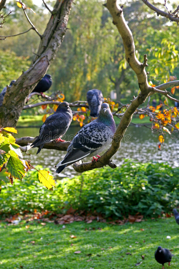 Doves on a limb. Beautiful autumn mood in a park with doves on a limb stock photos