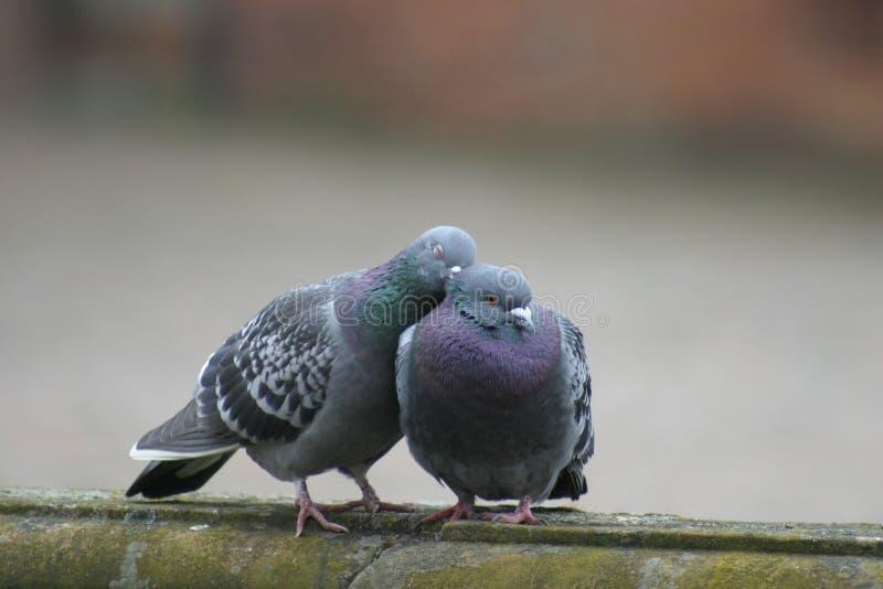 Doves in Love. Couple of birds in love stock image