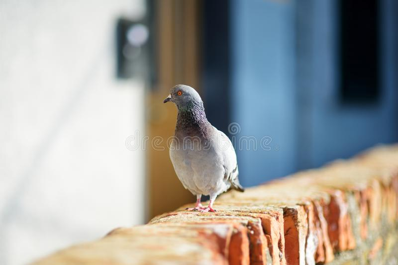 Doves and pigeons in Riomaggiore, the largest of the five centuries-old villages of Cinque Terre, Italian Riviera, Liguria, Italy. Doves and pigeons in stock photography