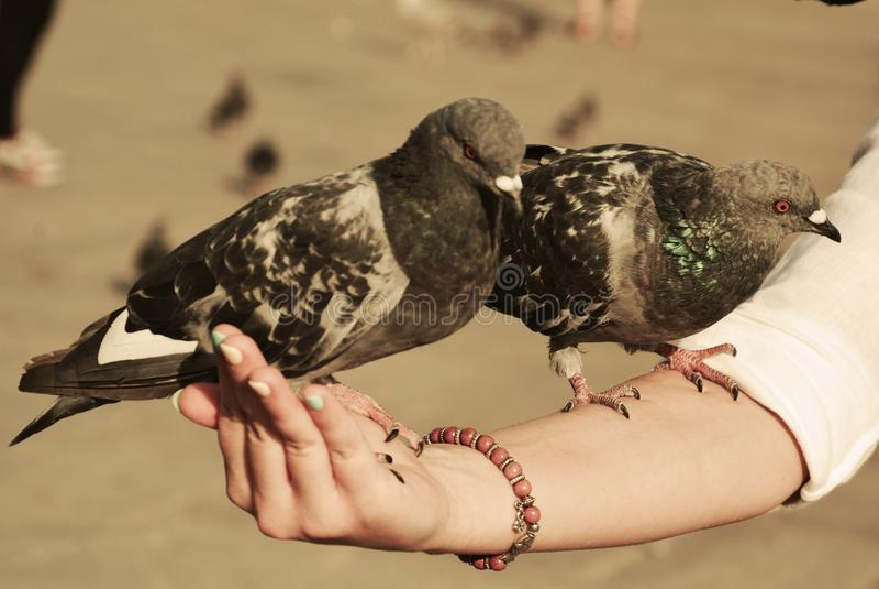 Doves in Venice stock photos