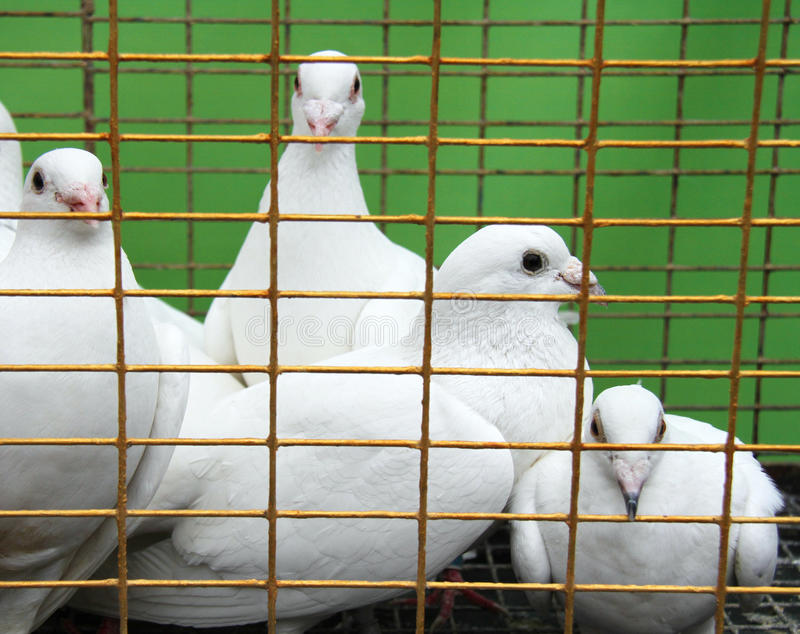 Download Doves stock image. Image of birdcage, captured, closed - 31722813