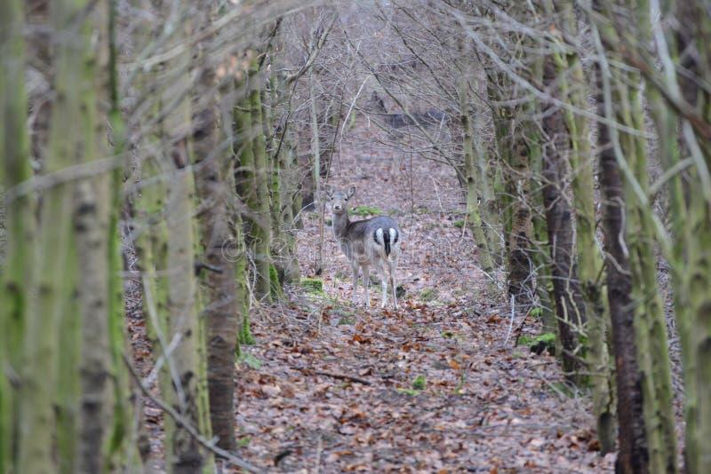 Dovhjort i skogen arkivbilder