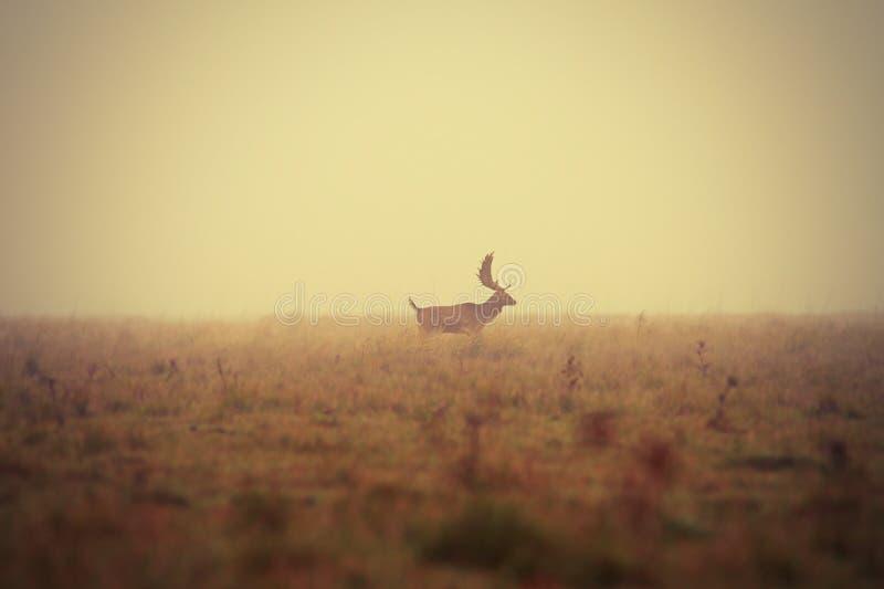 Dovhjortbock i dimmig morgon royaltyfri fotografi