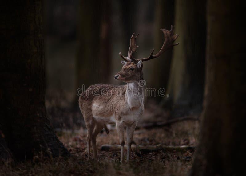Dovhjortbock i trä i mörkt trä royaltyfri foto