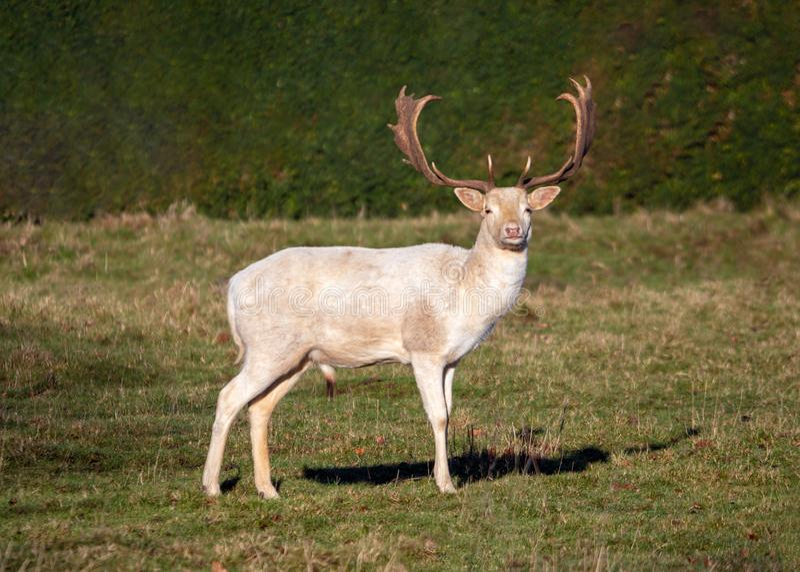 Dovhjortbock - vit morf n för Damadama en solig parkland royaltyfri bild