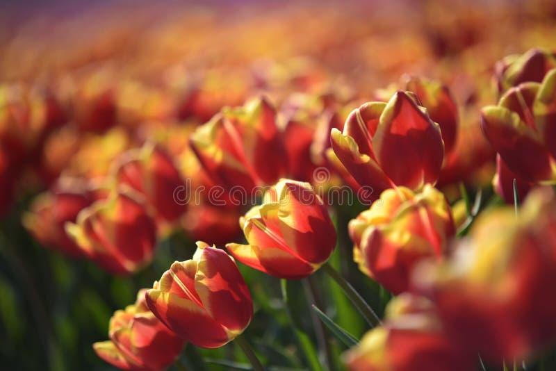 Dow jones tulip fields netherlands. Orange and red dow jones tulips in the outdoor dutch fields i royalty free stock photo