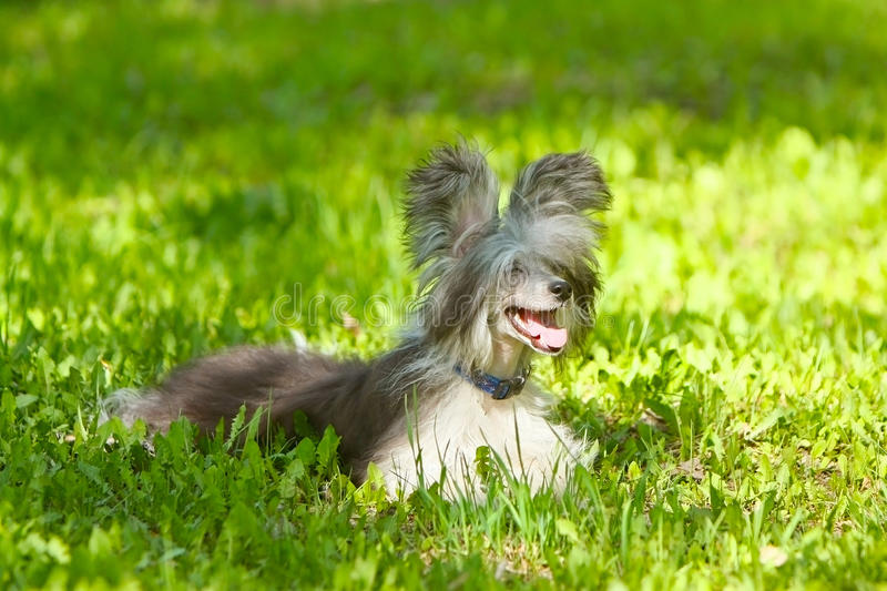Down Chinese crested dog lying on green grass royalty free stock images
