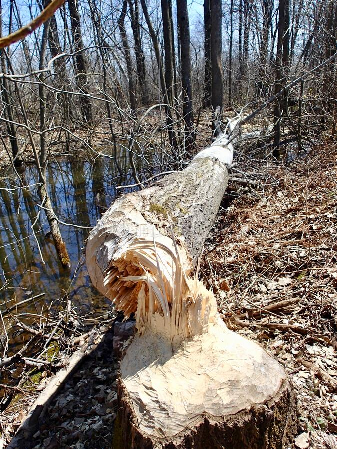 Downed tree from a beaver cutting stock photos