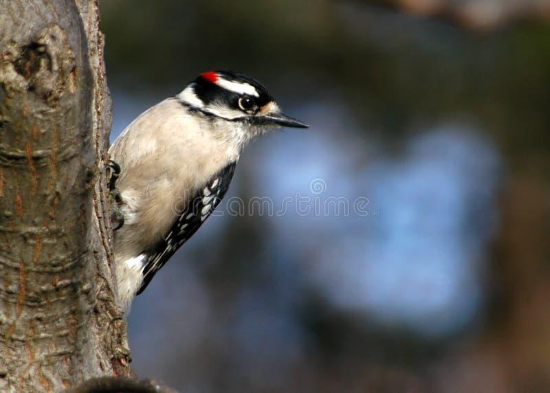 Downey Woodpecker I stock photo